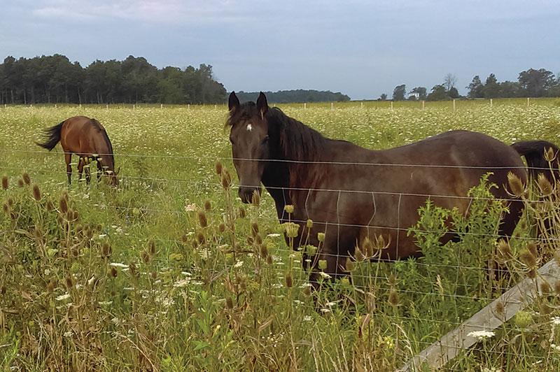 two horses hay feeding