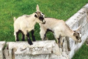 goats kids