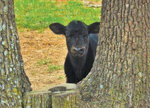 black cow calf