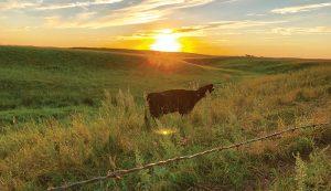 cow field sun landscape