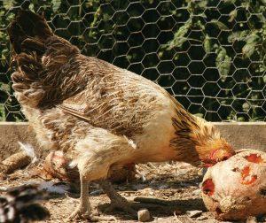 chicken cantaloupe food scraps