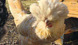 hedy buff polish chicken