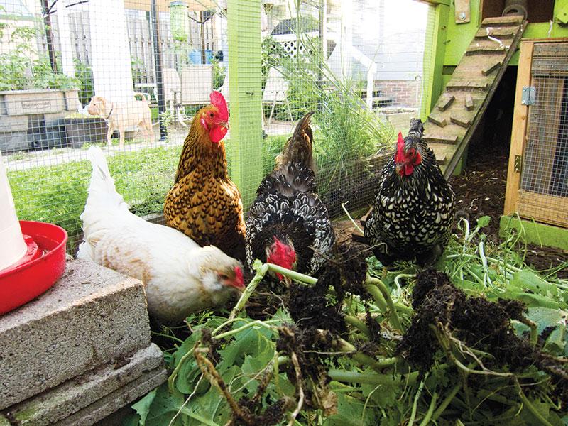 chicken coop buying