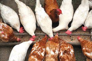 scratch grains chickens