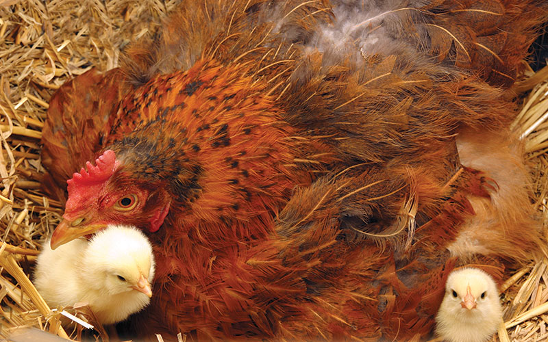 broody hen chicks