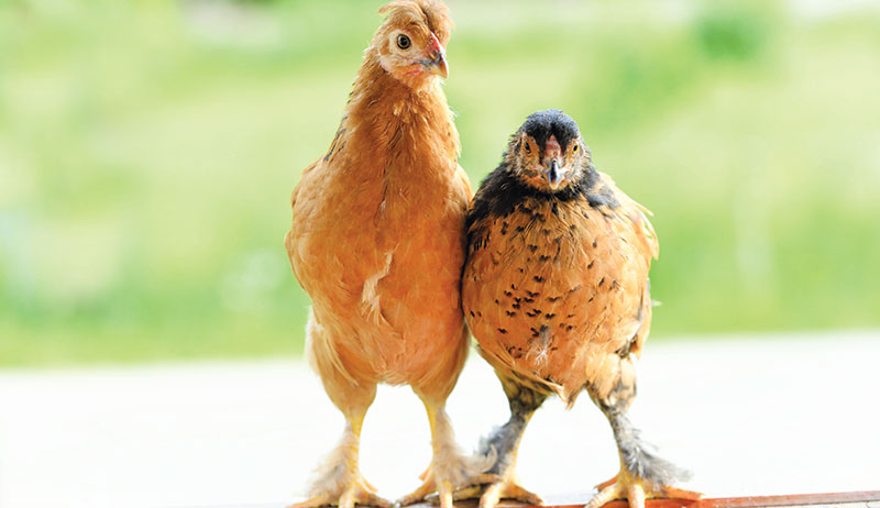 chickens space