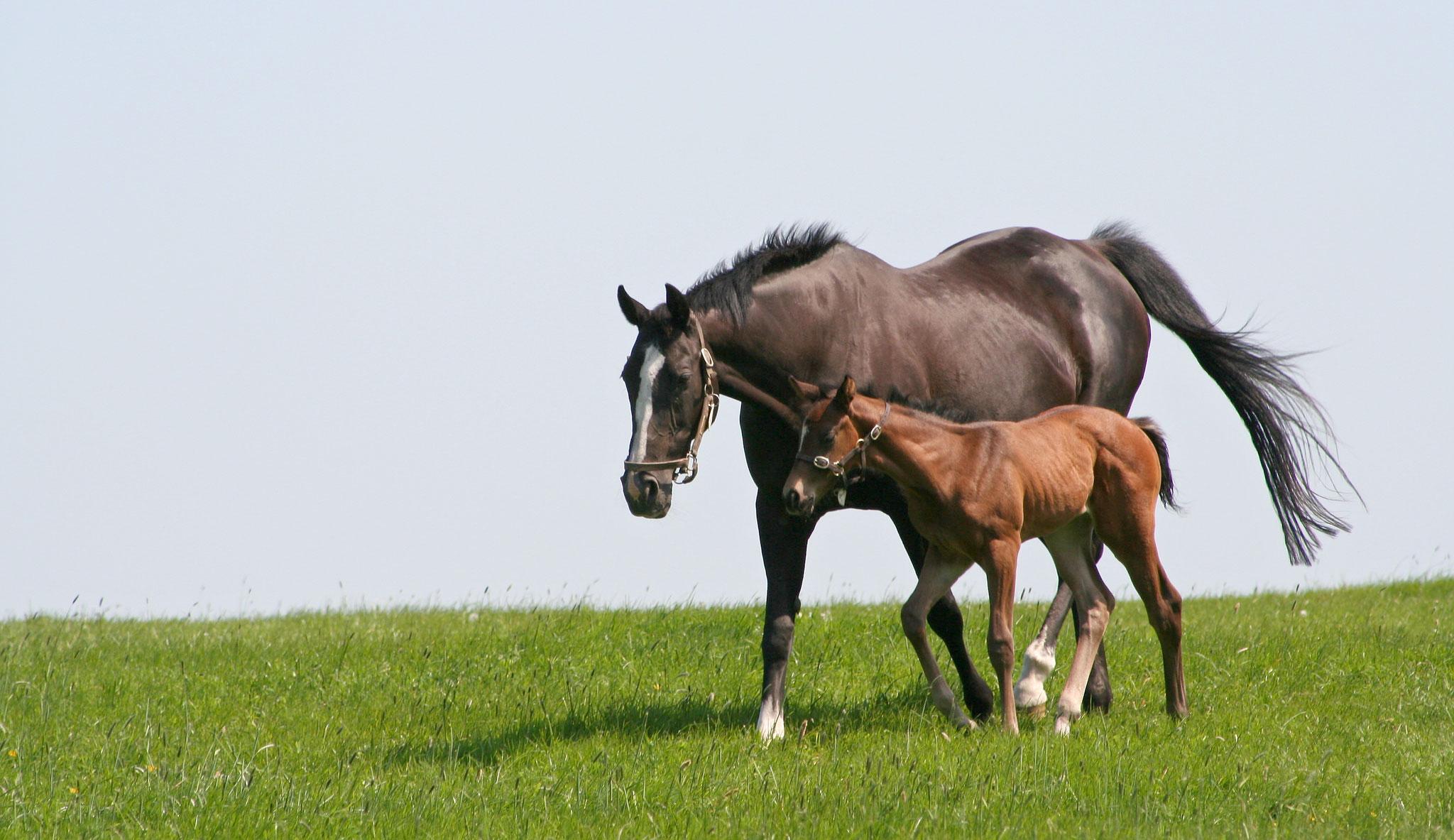 pregnancy horses foals
