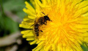 dandelions bees pollinators honeybees garden