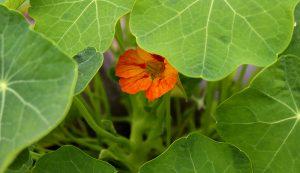 edible flowers nasturtiums