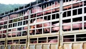 meat processors pigs livestock processor