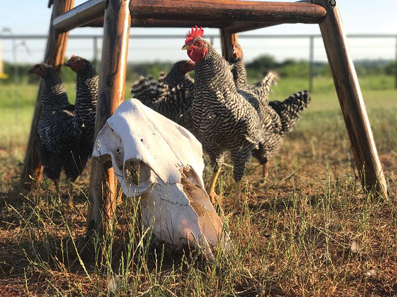 chickens chicken photos