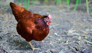 chicken breeds rhode island red
