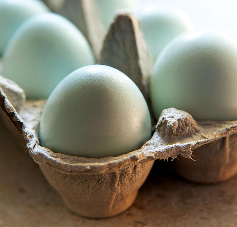 chicken breeds ameraucana eggs