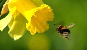 bumblebee bumblebees