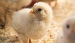 breeding chickens