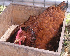 breeding chickens broody hen