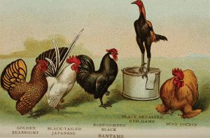 biggle poultry book chickens history