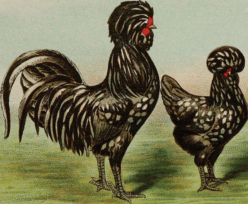 biggle poultry book illustration history chickens