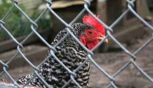 chickens roosters right to farm