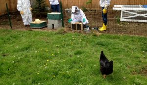 chickens bees