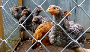 pullets chickens integration introduction