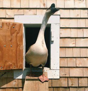 geese goose treats summer
