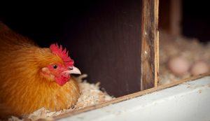 old hens hen chickens