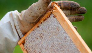 honey harvest bees