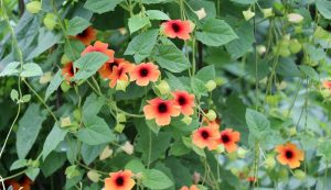 flowering vines for containers gardening