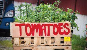 starts plants tomatoes