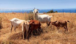 goats weeds gardening crops