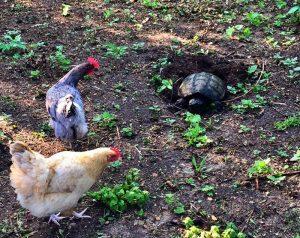 chickens attack kill neighbor dog