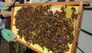 bees summer frame hive
