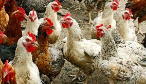 chickens flock split poultry flocking hatching fever
