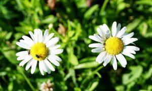daisies weeds