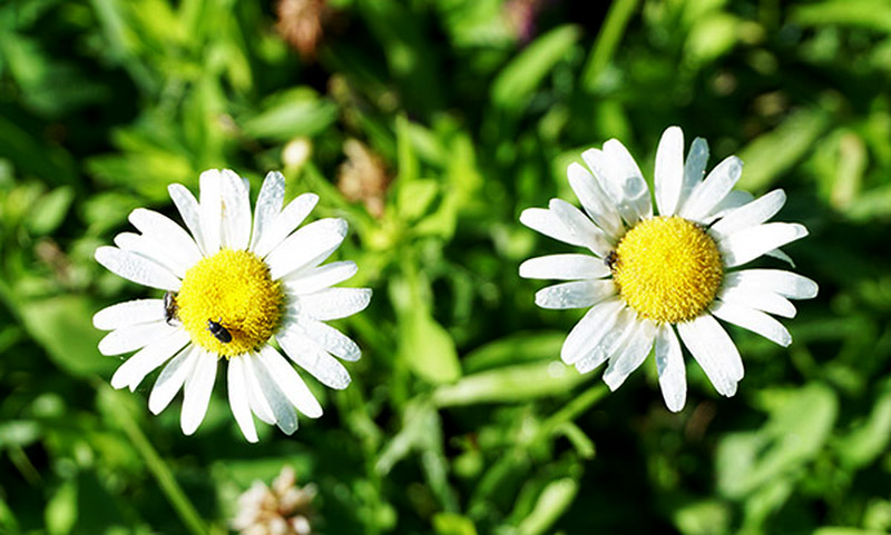 daisies weeds weed cutter