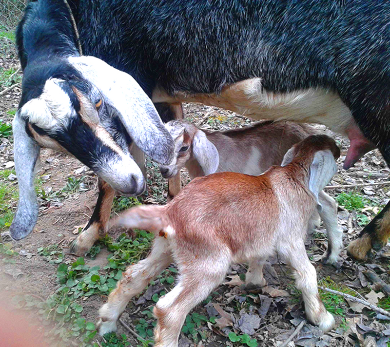 milking goats breeding kids