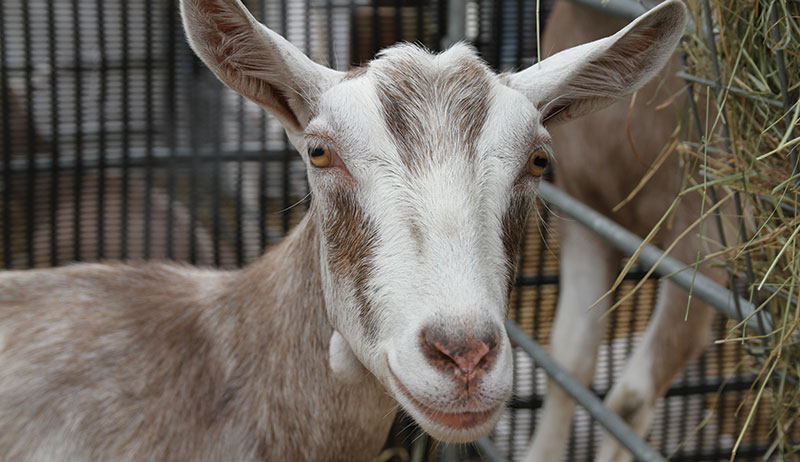 dairy goats Toggenburg