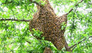 bees swarm