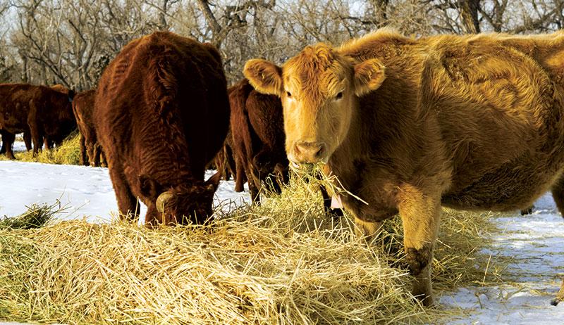feeding cattle feed