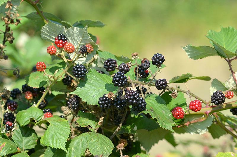 wild blackberry forage foraging