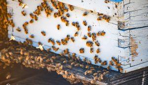beehive entrance robbing summer