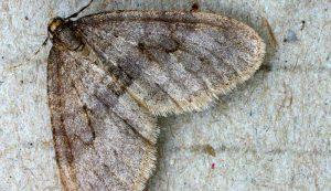 winter moths