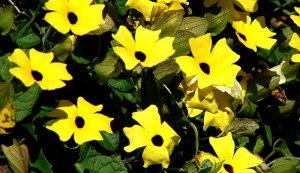 flowering vines black eyed susans container gardening