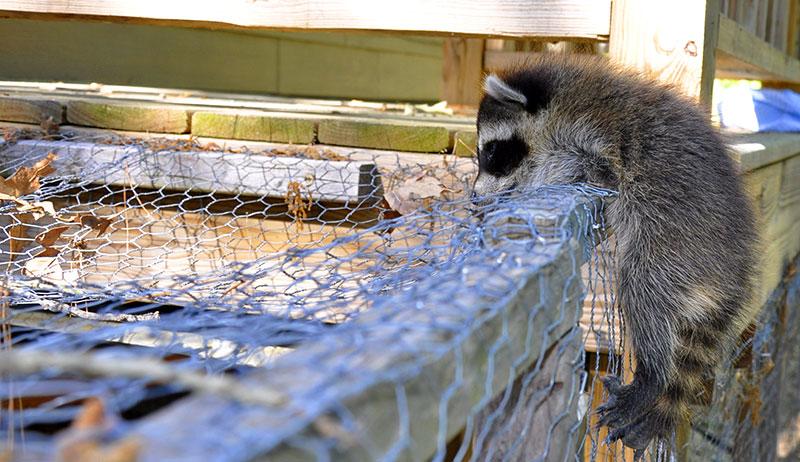raccoons chickens predators
