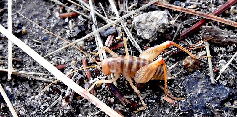 camel cricket crickets