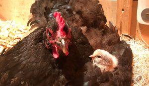 hatching broody hen eggs chicks