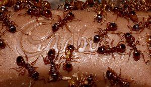 diy pest control ants