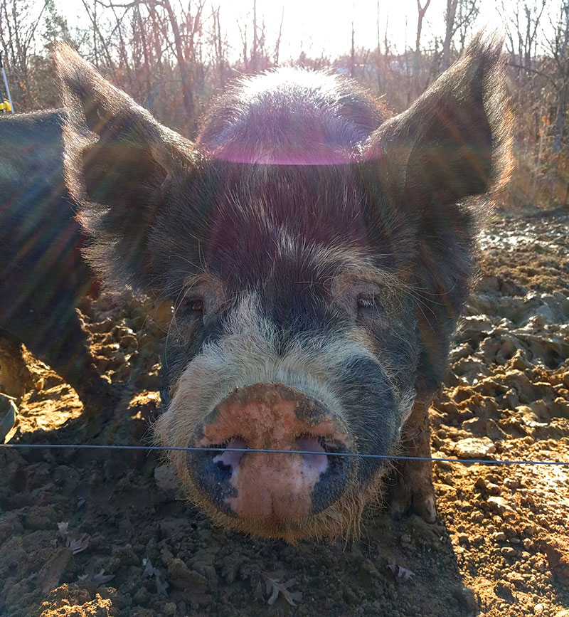 pigs livestock pets