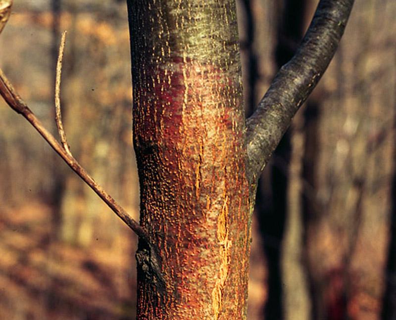 chestnut blight fungus trees